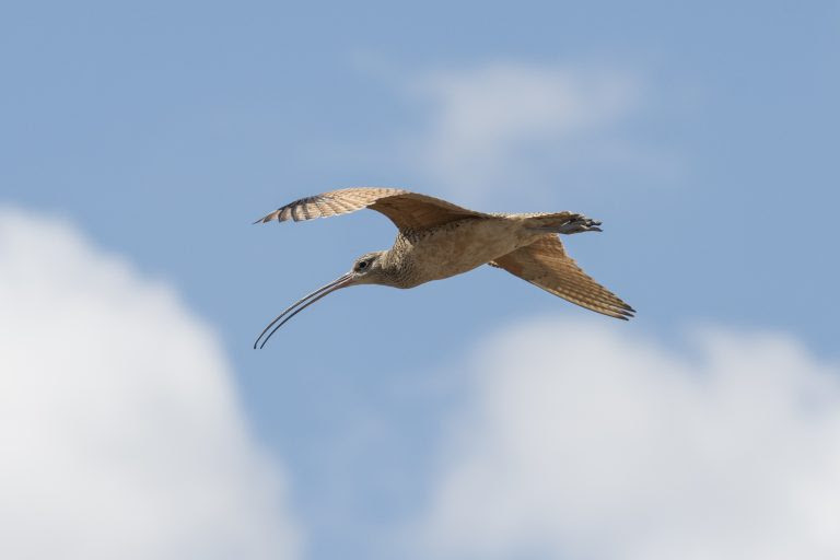 picture of a curlew bird