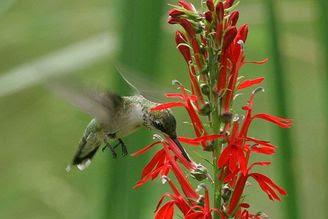 Ruby-throated Hummingbird enjoying a quick sip at a cardinal flower. Photo by Bill Buchanan, USFWS