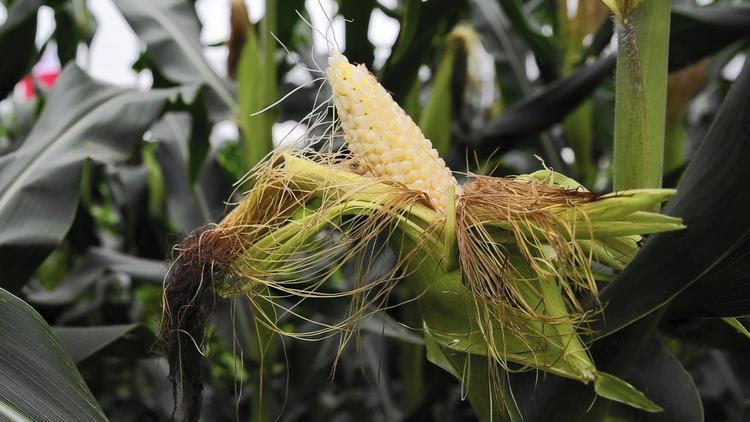 Weedkiller-resistant corn