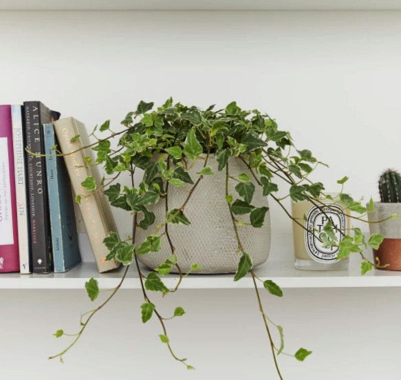 English Ivy bedroom plants