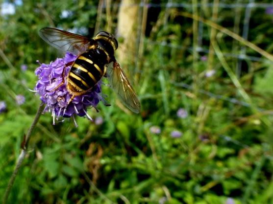 Hoverfly Sericomyia silentis on Devil's... © Kenneth Allen ...