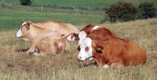 Ležící krávy na louce