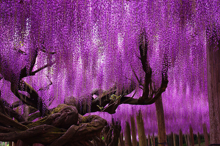 tree-144-year-old-wisteria-in-Japan-by-tungnam.com .hk