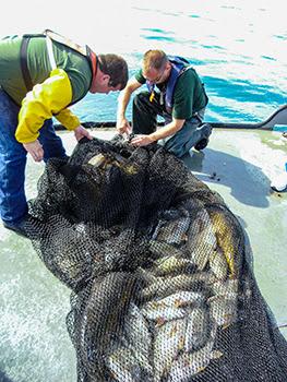Crew members aboard the Survey Vessel Steelhead retrieve a trawl from Lake Michigan that is full of fish.