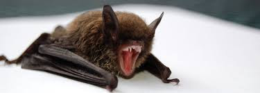 image of brown bat with teeth showing
