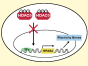 Cocaine Strengthens Synaptic Connections by Preventing HDAC5 From Suppressing Npas4 Expression in the Nucleus Accumbens (NAc)
