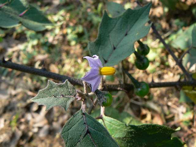 Solanum lasiocarpum Dunal