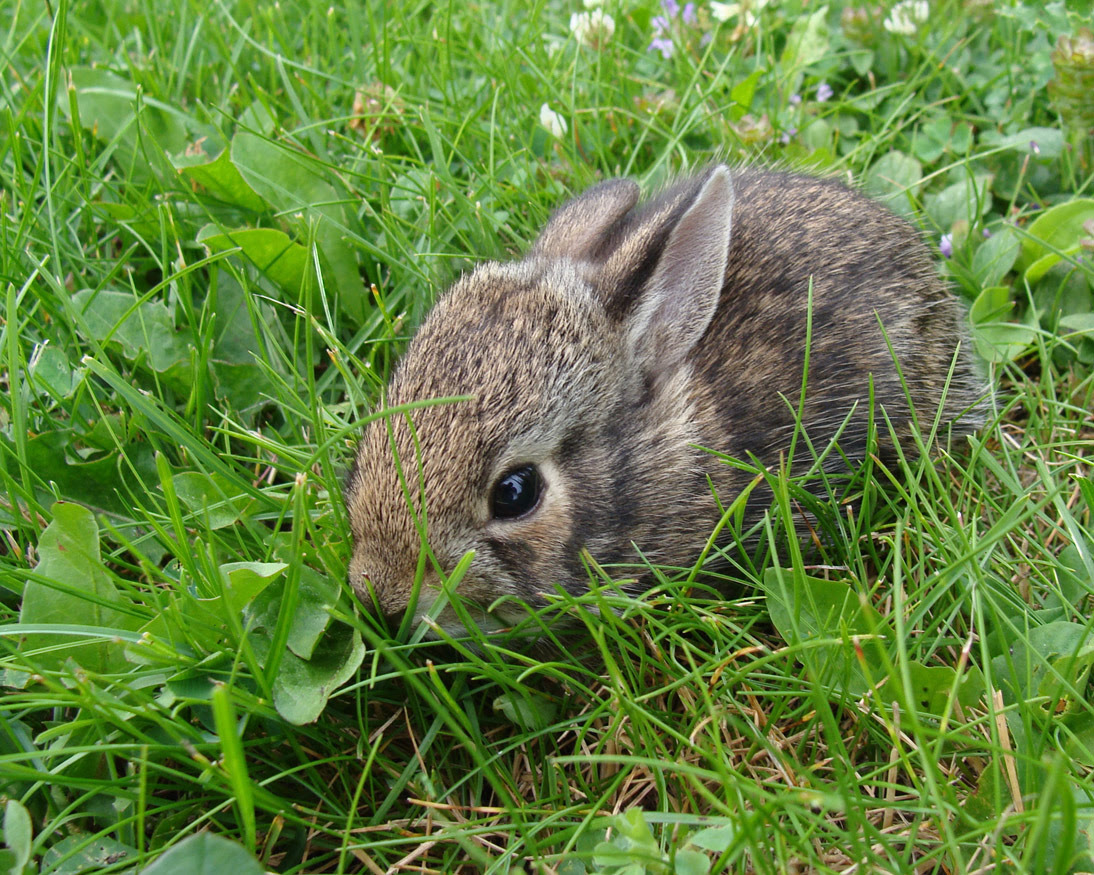 A grayish-brown baby rabbit is shown in green grass, one of the more common baby animals seen by those getting outside to enjoy nature.