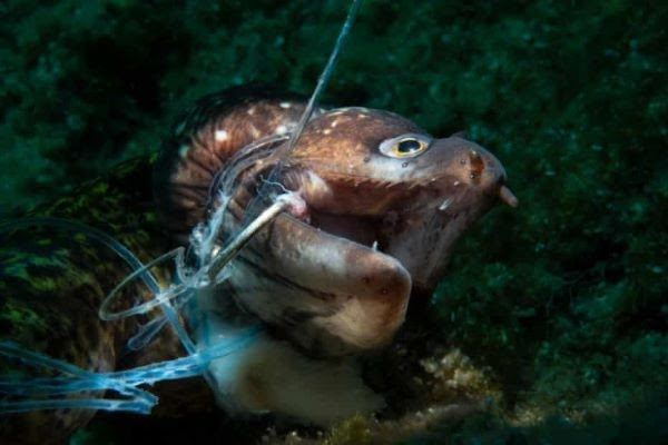 Kerim Sabuncuoglu fotografio el grito silencioso de una anguila víctima de una línea de pesca abandonada
