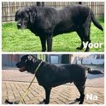 ghust labrador voor en na