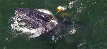 Whale Entangled narrow