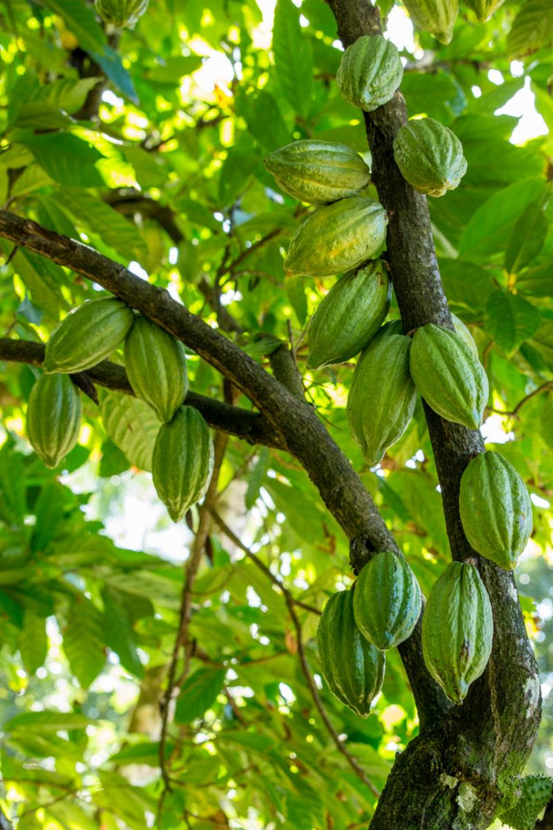 Anse Chastanet guests will have the opportunity to plant cacao trees on Earth Day.