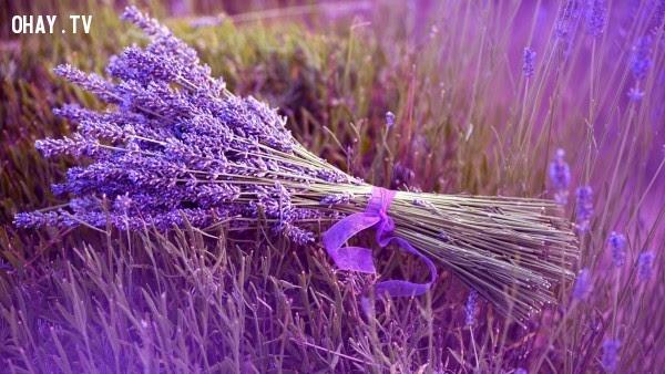 Hoa Oải Hương - Sự ngờ vực,hoa ngữ,ngôn ngữ các loài hoa,hoa quả,hoa đẹp
