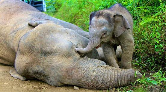Elefante bebé junto a elefante muerta