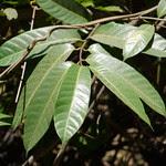 Anodendron paniculatum A. DC.