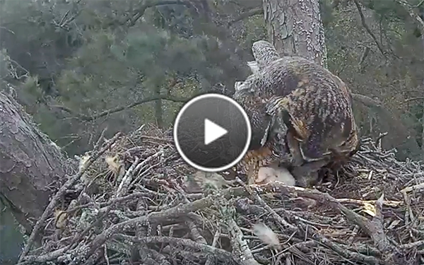 A rare morning glimpse of the newly hatched owlet.