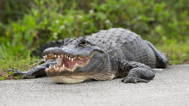 Human remains found inside 500-pound alligator. How common are alligator attacks?