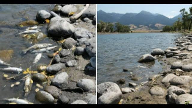 Dahboo77 Video: 'Unprecedented': Massive Yellowstone River Fish Kill, Nearly 200 Miles Closed to Public
