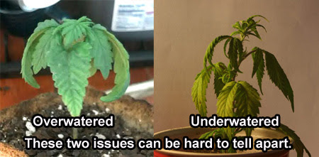 AN overwatered cannabis plant next to an underwatered plant.