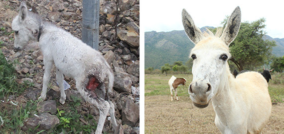 Left: A photo of Amelia as a foal with a large wound on her thigh. Right: A photo of Amelia today, looking into the camera as she stands in a clearing in the Nilgiri Hills.