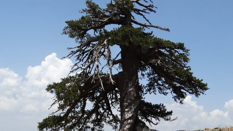 Adonis, a Bosnian pine, more than 1,075 years old, living in the alpine forests of the Pindos mountains in northern Greece. Image via Dr. Oliver Konter, Mainz