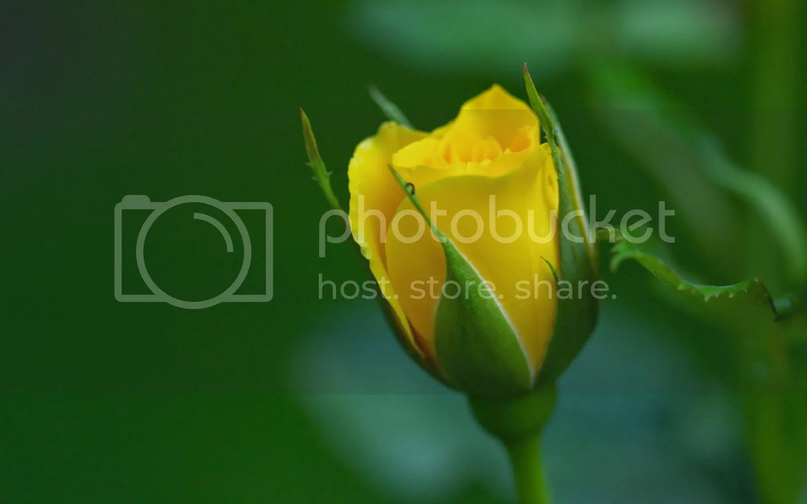 photo Yellow rose_zpsecahvtfn.jpg
