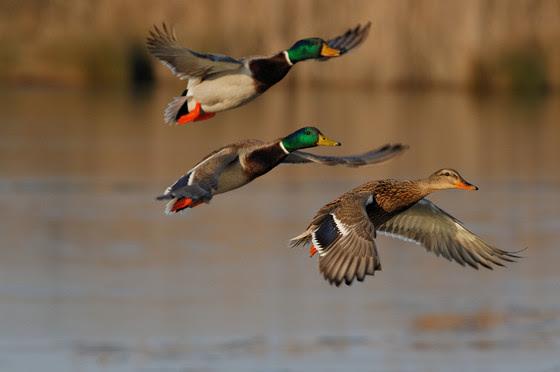 Three mallard ducks flying over water