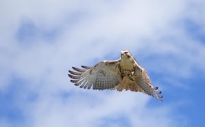 Red-tailed Hawk Spring Count 18 by J Richardson