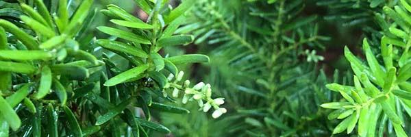 Prumnopitys andina male flowers