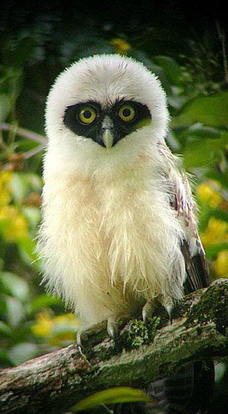 Juvenile Spectacled Owl