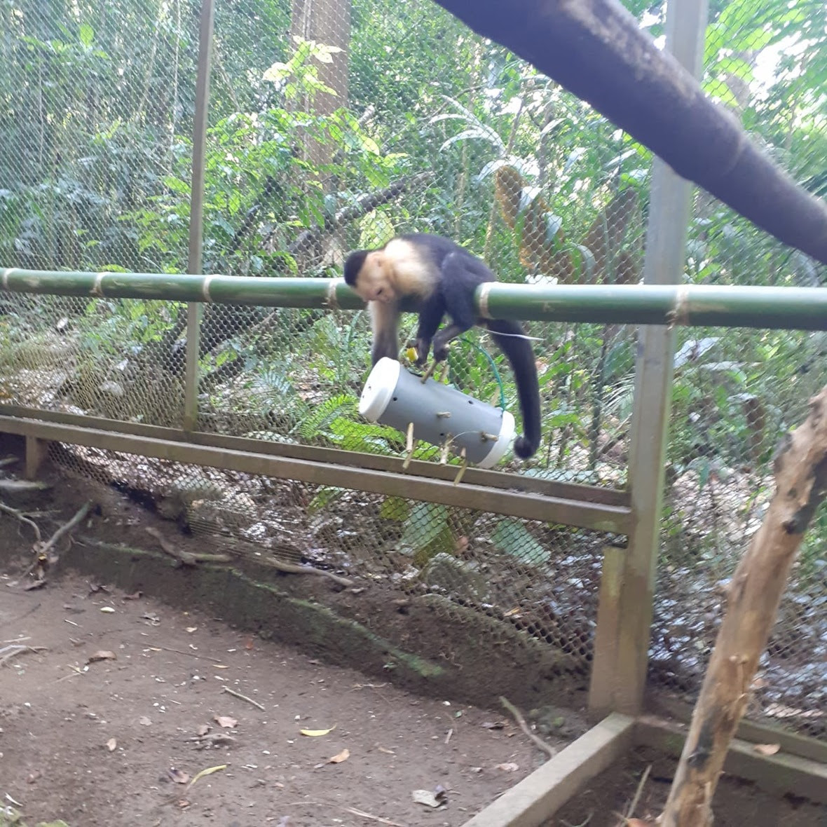Capuchin sits on bamboo and manipulates hanging enrichment below her.