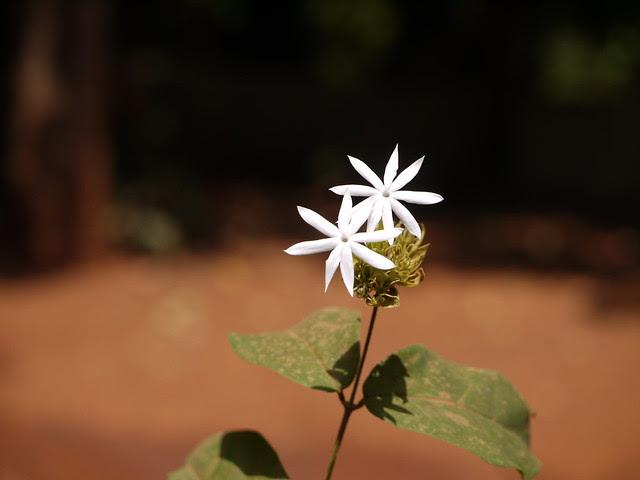 Kunda (Hindi: कुंद)
