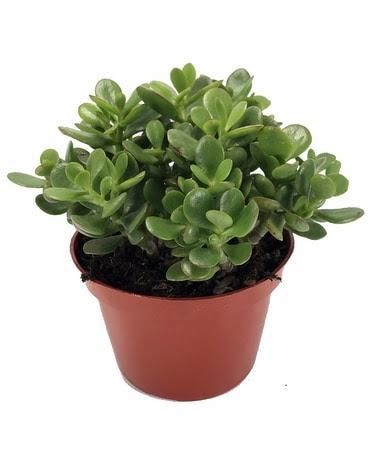 Image result for jade plant