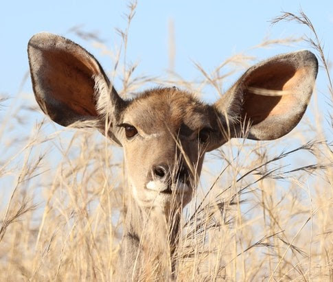deer with ears listening