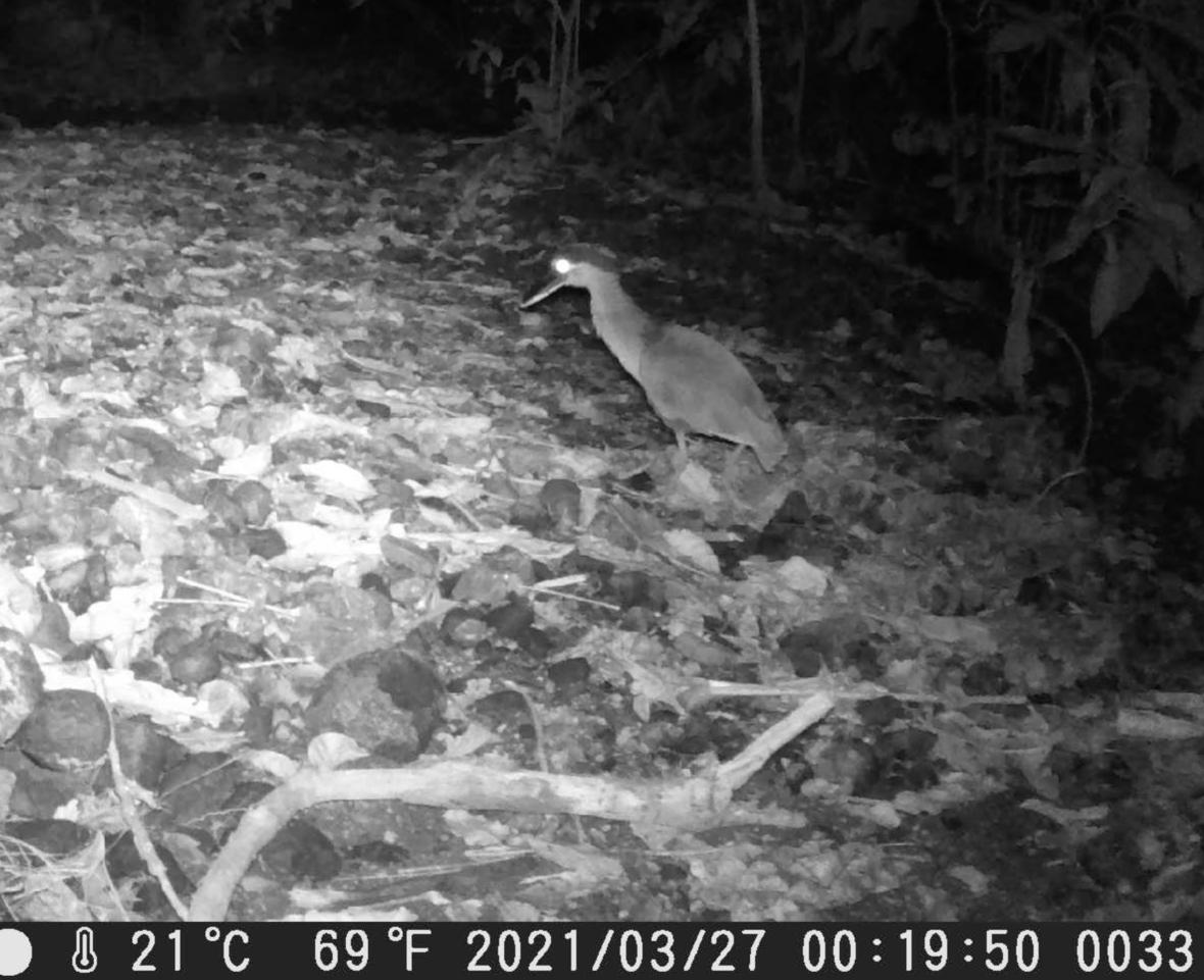 Camera trap photo of a bird