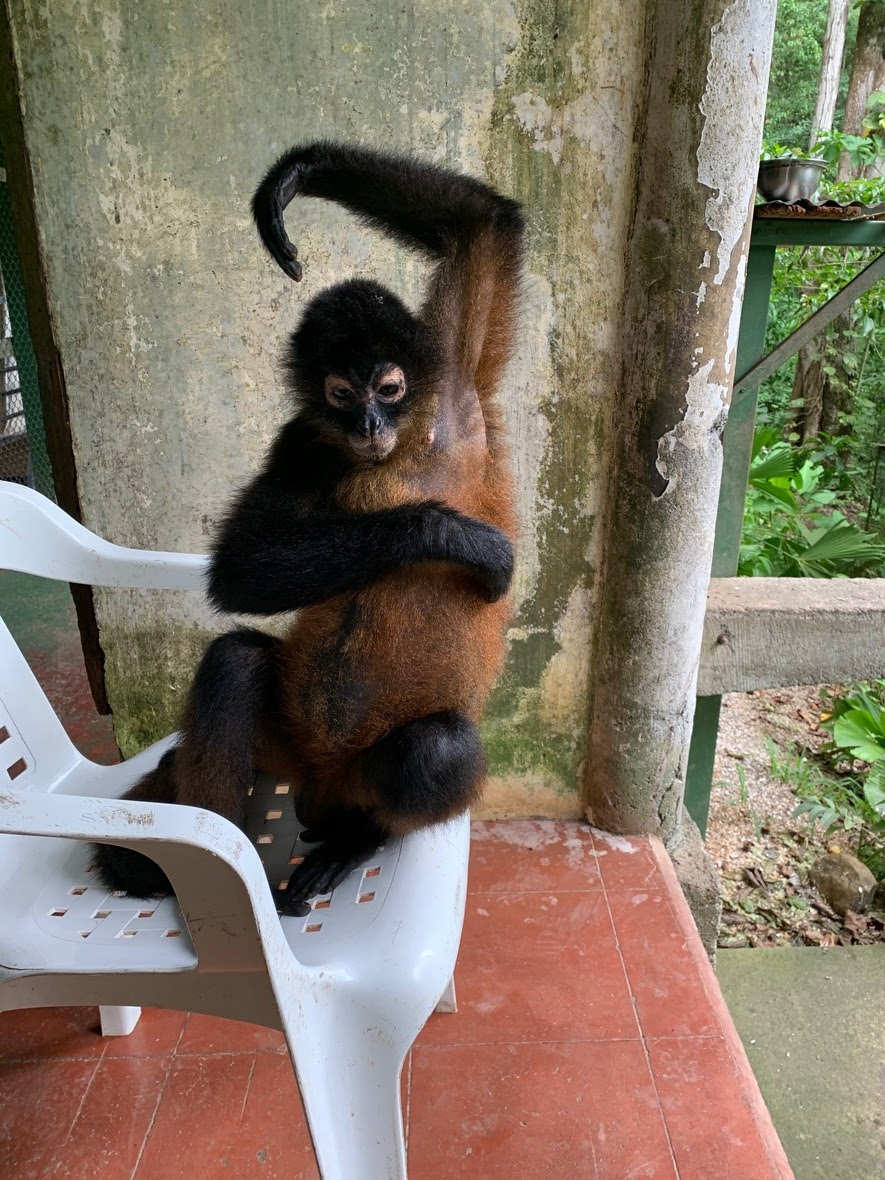 Front view of a spider monkey with one arm up and the other arm across her body