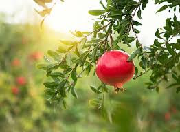 Image result for pomegranates images free