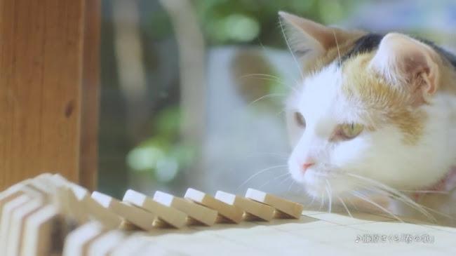 実写映画『3月のライオン』にも出演した 川本家の猫からピタゴラ装置がスタート!