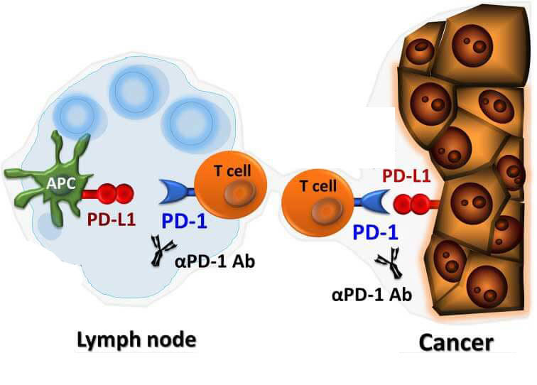 PD-1 inhibition graphic