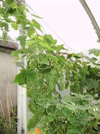 Lakemont seedless grape climbing over south door