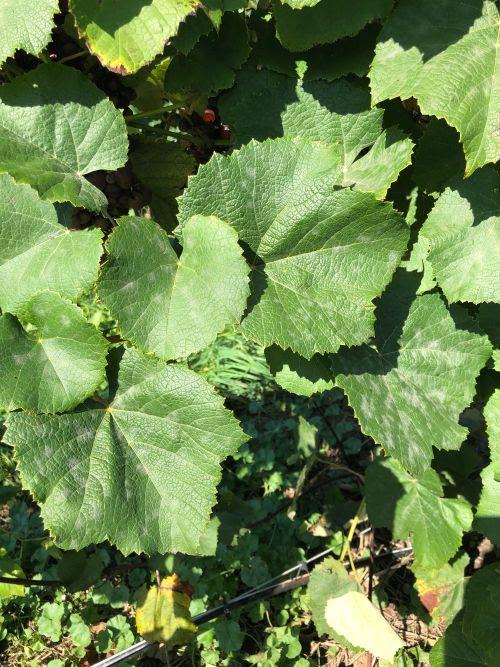 Powdery mildew on grapes