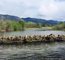 Manmade Beaver Dams Save Fish