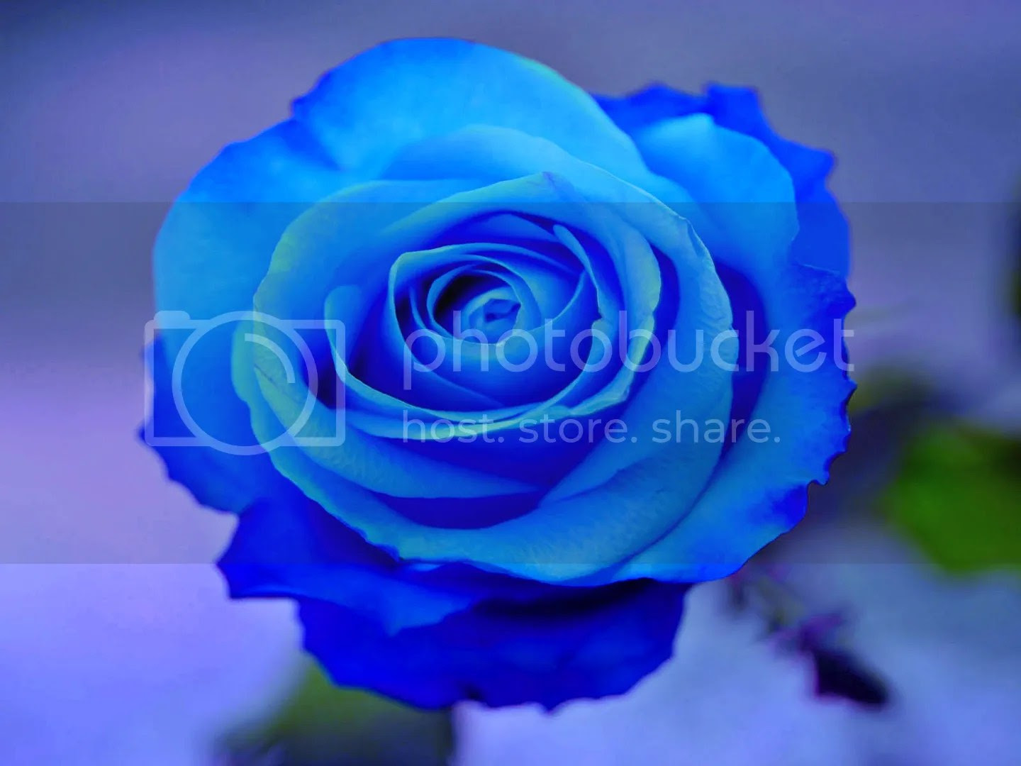 photo Blue rose_zps3vwjrclo.jpg