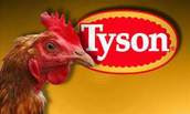 Photo showing Tyson Chickens logo with live chicken in foreground
