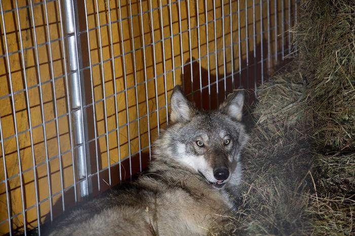 This male wolf was transported to Isle Royale National Park on TuesdayUSFWS