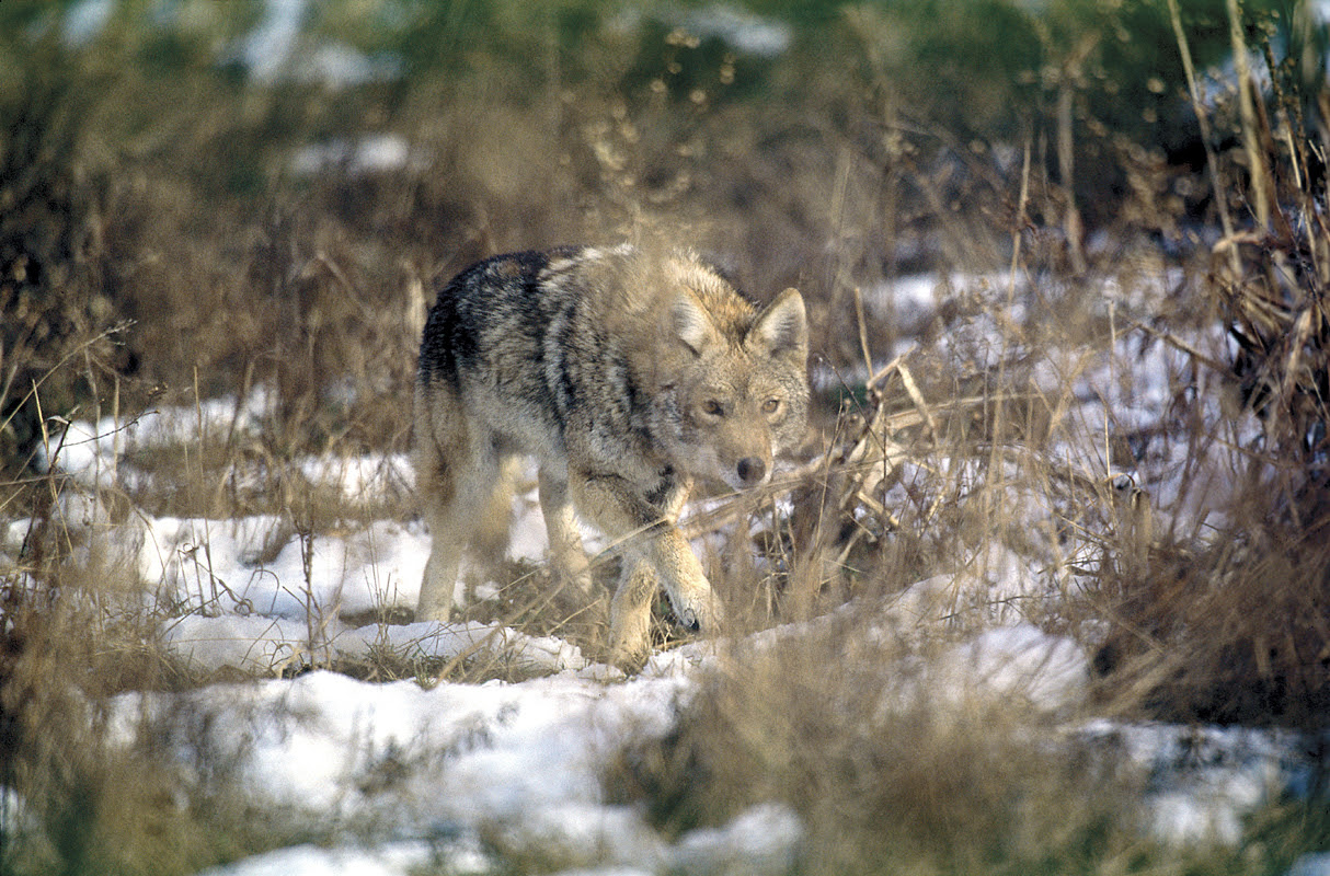 Coyotes have a life span of 6 to 8 years and they maintain a home range in urban settings of 2 to 5 square miles.