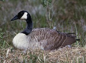 goose laying