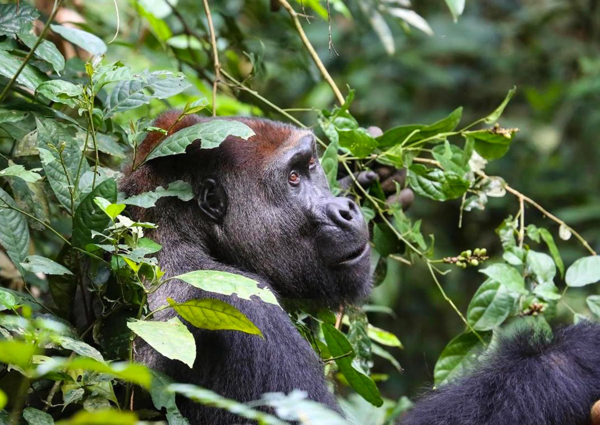 Gorilla Appeal