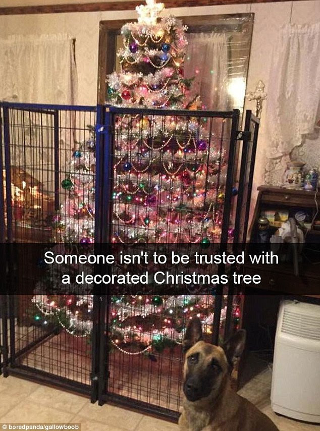 This dog must have ended up on the naughty list after trashing the tree last year - as this year his owner has clearly decided to protect their decorations with a black metal fence
