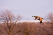 Photo of Canada geese in flight by Larry Hindman
